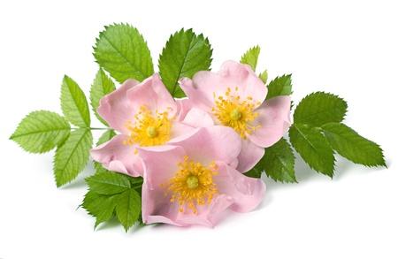 白い背景の上犬ローズ (ロサカニーナ) 花