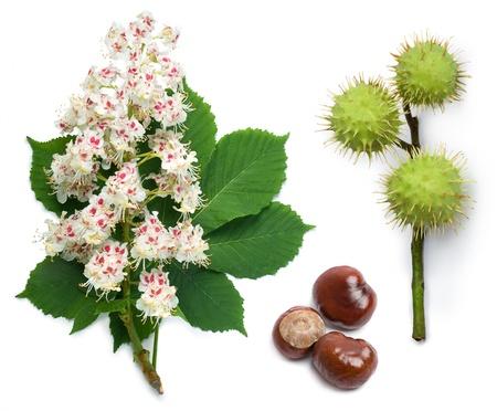 castaÑas: Castaño de Indias (Aesculus hippocastanum-, árbol Conker) flores, hojas y semillas sobre un fondo blanco Foto de archivo