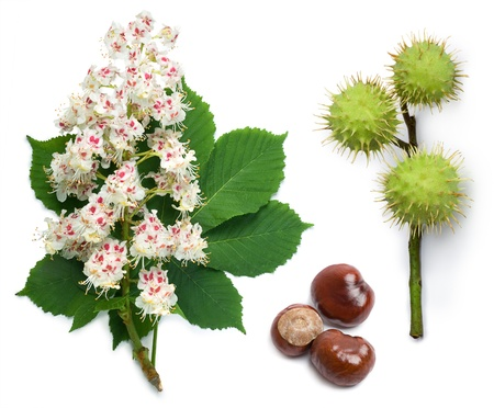 conker: Horse-chestnut (Aesculus hippocastanum, Conker tree) flowers, leaf and seeds on a white background