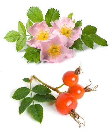 briar bush: Dog rose (Rosa canina) flowers and fruits on a white background Stock Photo