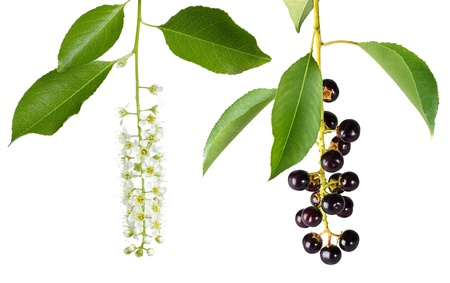 bird cherry branches with flowers and berries isolated on a white background photo