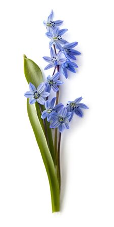 Bouquet of Siberian Squill (Scilla siberica) on a white background