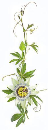 Passiflora caerulea, également connue sous le nom de fleurs de la passion ou vignes de la passion sur fond blanc
