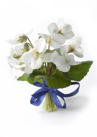 White violets (Viola alba) with a blue ribbon on a white background Standard-Bild