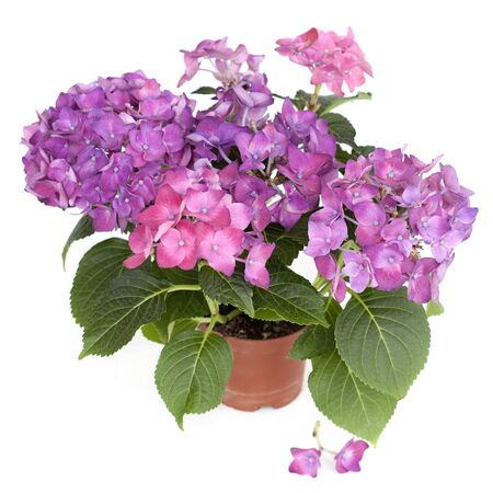 Pink hortensia ( Hydrangea macrophylla ) in a pot on a white background Standard-Bild