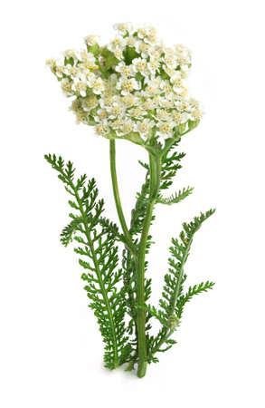 Yarrow or common yarrow, gordaldo, nosebleed plant, old man's pepper, devil's nettle, sanguinary, milfoil, soldier's woundwort, thousand-leaf, and thousand-seal (Achillea millefolium) on a white background
