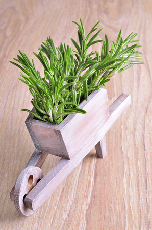 sprigs: Many green lush sprigs fresh rosemary together  Stock Photo