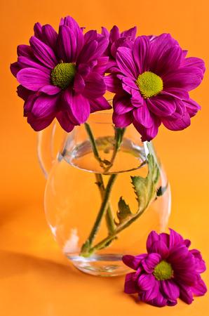 violet flowers: Purple chrysanthemum with a glass vase on orange background