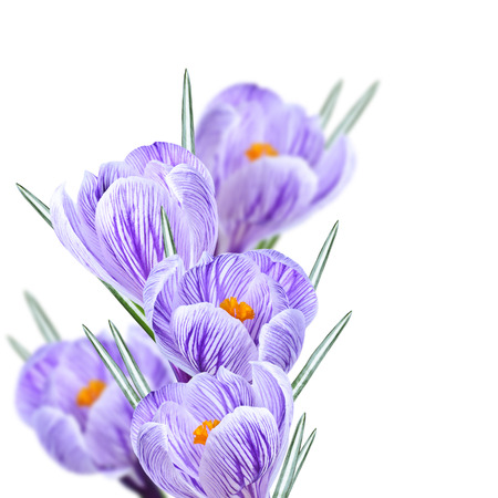 Floral background and a bouquet of crocuses photo