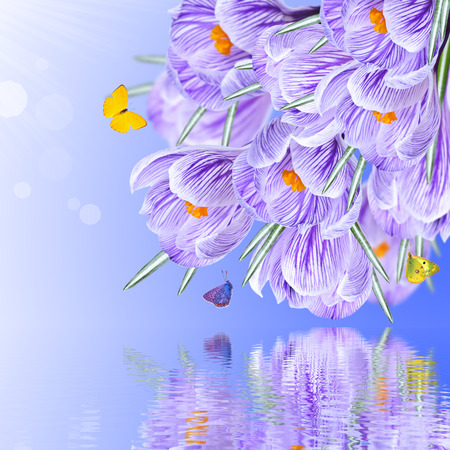 Floral background and a bouquet of crocuses, with reflection in water photo