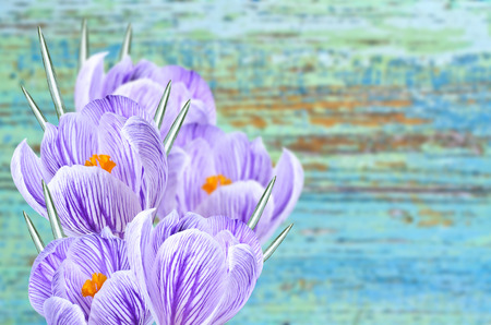crocuses: Floral background and a bouquet of crocuses