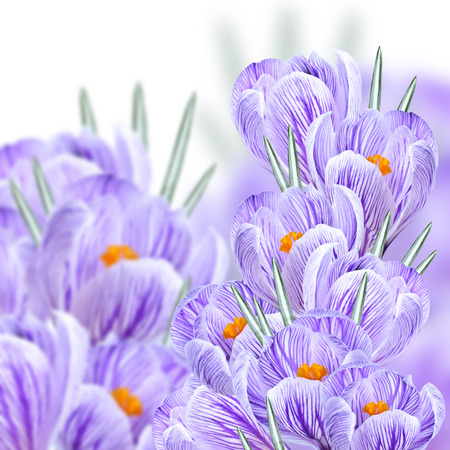 crocuses: Collage of bouquets of colorful crocuses in the background