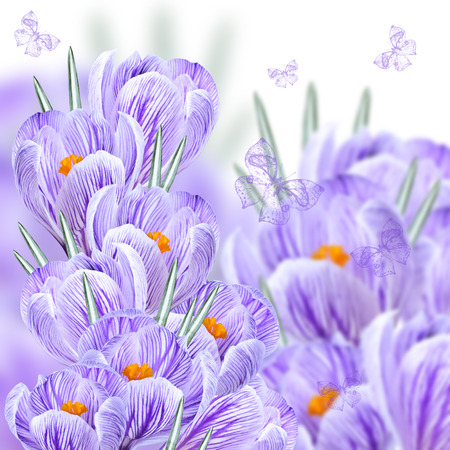 crocuses: Collage of bouquets of colorful crocuses with butterflies