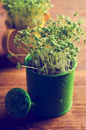 watercress: Fresh watercress sprouts with water droplets. Selective focus. Stock Photo