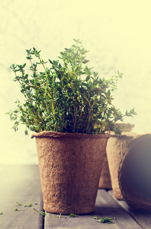 peat pot: Sprouts fresh thyme in a peat pot on a wooden background. Selective focus. Stock Photo