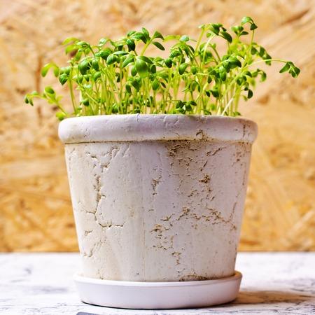 berro: Las plántulas de berros verde en una olla de cerámica. enfoque selectivo. Foto de archivo