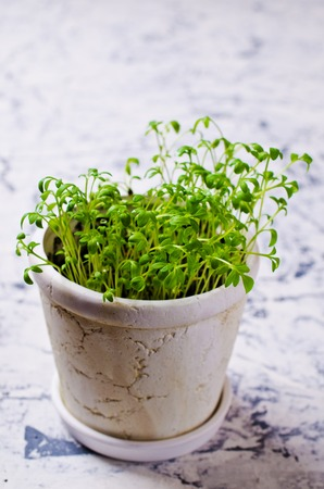 berro: Seedlings of green watercress  in a ceramic pot. Selective focus.