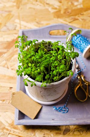 berros: Seedlings of green watercress  in a ceramic pot. Selective focus.