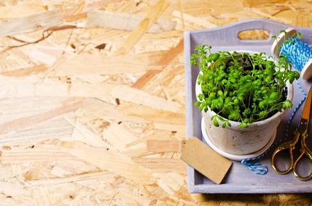 watercress: Seedlings of green watercress  in a ceramic pot. Selective focus.