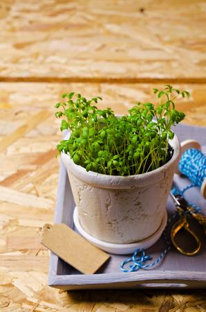 berros: Las plántulas de berros verde en una olla de cerámica. enfoque selectivo. Foto de archivo