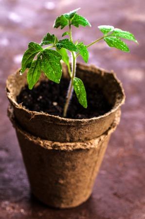 泥炭ポット苗トマトの水が値下がりしました。選択と集中。 写真素材 - 73373826
