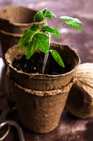 turba: Young seedlings tomato with water drops in peat pots. Selective focus. Foto de archivo