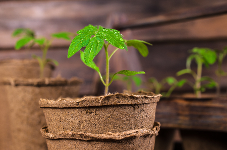 peat pot: Young seedlings tomato with water drops in peat pots. Selective focus. Stock Photo