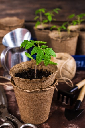 Young seedlings tomato with water drops in peat pots. Selective focus. Stock Photo