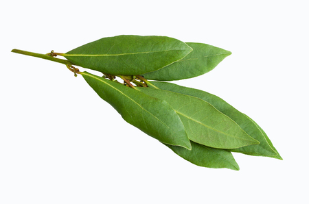Raw green Laurel leaves on white background. Selective focus. 스톡 콘텐츠