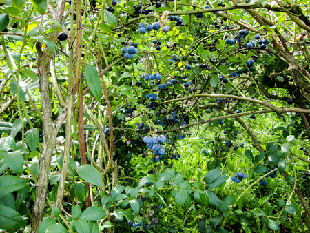 blueberry bushes: Ripe berries in the garden Stock Photo