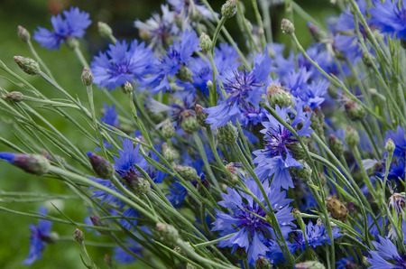 centaurea: Cornflowers in summer (Centaurea cyanus) Stock Photo