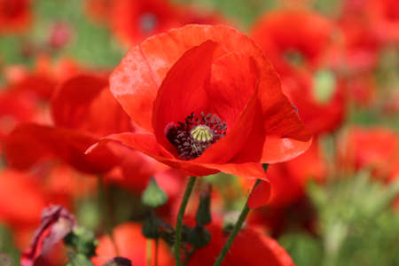 Red poppy flower on the meadow, symbol of Remembrance Day or Poppy Day.