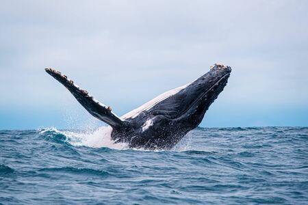 Humpback whale breaching near Isla de la Plata, Ecuador 版權商用圖片