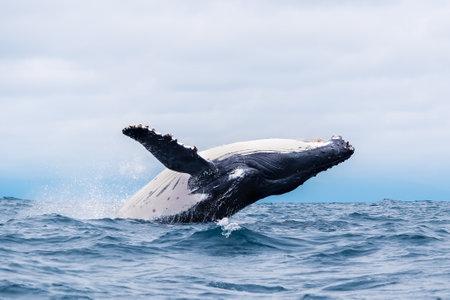 Humpback whale breaching and landing in the ocean near Isla de la Plata (Plata Island), Ecuador Banque d'images