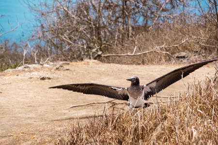Young Blue-footed Booby with open wings. Bird shed feathers in Isla de la Plata (Plata Island), Ecuador Stock fotó