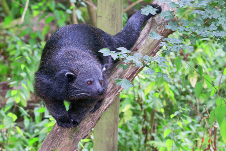 Bearcat - Binturong walking on a branch facing the camera