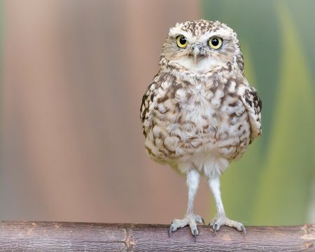 Little burrowing owl, Athene cunicularia standing on a brown log separated from blurred background