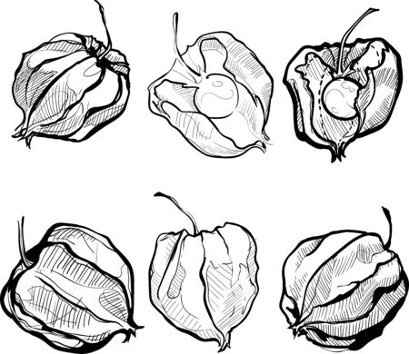 Autumn physalis hand draw black and white Illustration