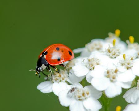 ladybird little pollinates a beautiful flower. 스톡 콘텐츠
