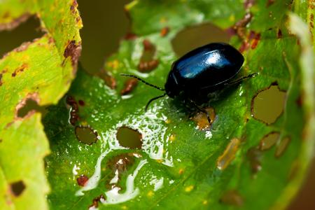 Alder leaf beetle Agelastica alni. Stock Photo