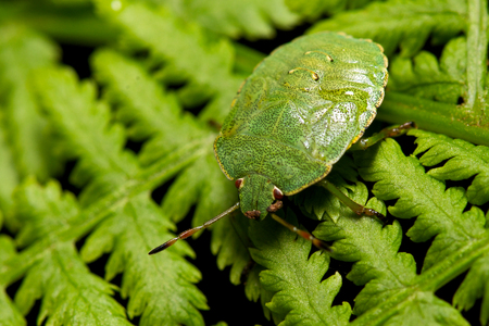 Heteroptera green in the garden on a black background. Stock Photo