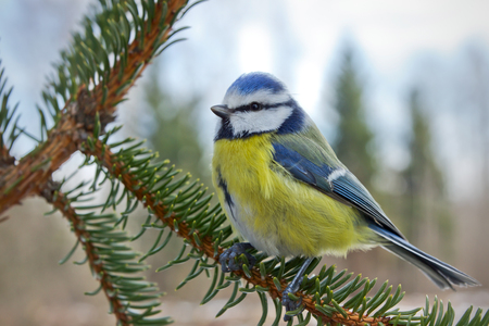 Blue tit on a fir tree branch.