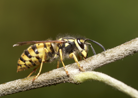 wasp to apple tree branch.insect macro wild