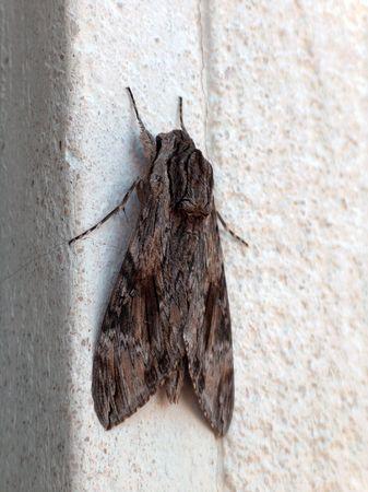 dreadful: Large dreadful night-butterfly