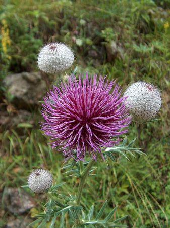 slovenian: Beautiful Slovenian mountain flower