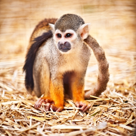 sciureus: Squirrel monkey sitting, nice blurred background
