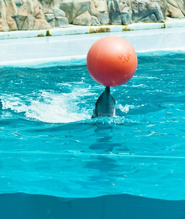Dolphin playing with red ball in dolphinarium. photo