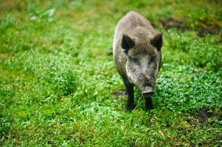 Wild boar is looking at camera on background of green grass. photo