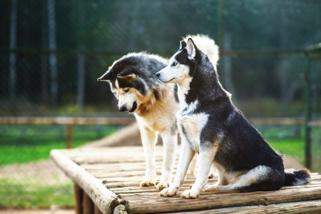 Two dogs of breed Husky on wooden platform in the aviary. photo