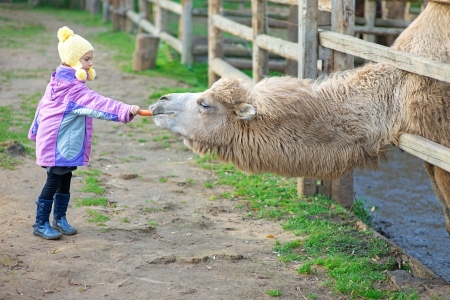 zoo youth: Beautiful little girl in pink coat feeding two-humped camel.